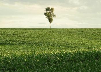 Single tree on the horizon of corn field